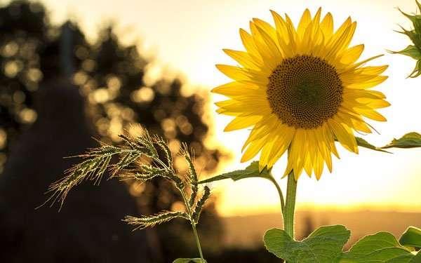 darshanatura-sunflower